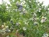 萊克西藍莓苗愛科林芝萊克西藍莓苗多少錢