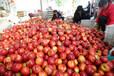 山西油桃,中油四號,黃肉油桃已上市,誠信代辦,歡迎選購
