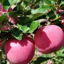 成都水果供應鏈水果批發市場新鮮批發價配送上門圖片