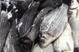 佛山鲫鱼种苗价格、广州鲫鱼种苗批发、清远鲫鱼种苗养殖