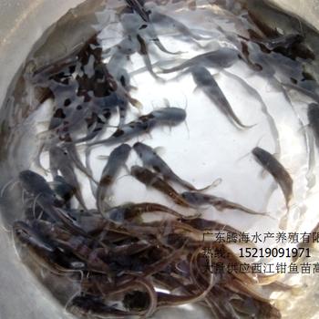 腾海水产叉尾鱼苗价格