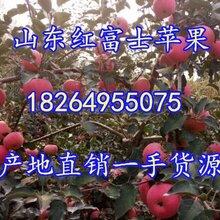 江西紅富士蘋果價格江西蘋果基地江西蘋果產地行情江西冰糖心蘋果行情圖片