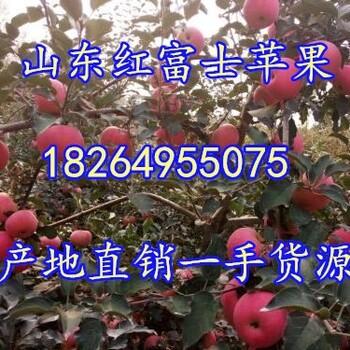 山东红富士苹果批发价格山东苹果基地山东苹果产地烟台苹果就看过
