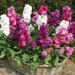 矮生盆栽地栽紫羅蘭種子多花色花境花帶草本花卉種子價格