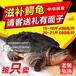 按只卖大鳄龟活体多肉龟/老鳄龟煲汤焖肉请客佳肴可代宰杀
