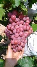 陜西紅提葡萄產地行情,紅提葡萄價格走勢圖片