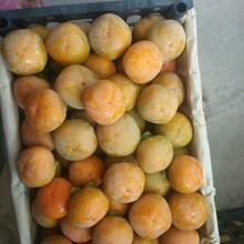陜西九月黃柿子價格,八月黃柿子批發圖片