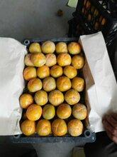 陕西脆柿子,日本甜柿子,七月黄柿子,九月黄柿子价格图片