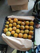 陕西柿子行情,火葫芦柿子,九月黄柿子产地价格图片