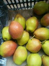 陕西冷库红香酥梨价格,库尔勒香批发价格图片