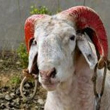 东营欢迎斗羊庆典大会图片