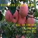 苹果苗批发泰安苹果苗基地苹果树苗最新价格信息