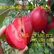 2016苹果苗价格行情销售苹果树苗价格