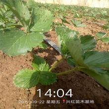 淮北市紅顏草莓苗分布范圍圖片