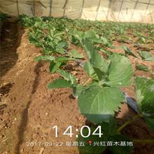 陽泉市草莓苗品種批發基地圖片