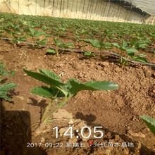 汝南县甜查理草莓苗批发基地图片