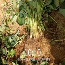 磐安县草莓苗批发基地图片
