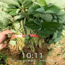 金昌市草莓苗种植方法盆栽图片
