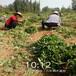 南平市刚发芽的草莓苗图片