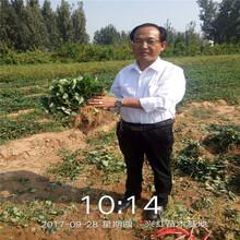 渭南市山东草莓苗品种图片