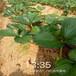 南平市脱毒草莓苗