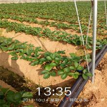 保定市草莓苗批发价格超低图片