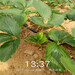 辽阳市草莓苗新品种