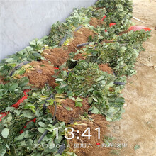 吉安市草莓苗种植方法价格透明图片