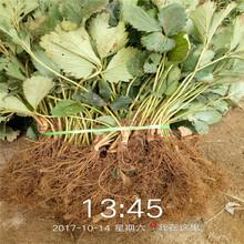 赤峰市四季草莓苗批发种植技术指导图片