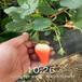 蚌埠市北京十四號桃樹苗批發多少一優質高產成活率高