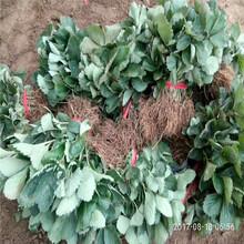 深圳市草莓苗种植方法视频品种多成活率高质量好图片
