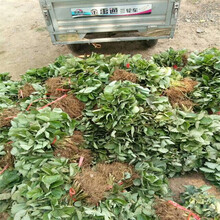 沧州市桃苗新品种兴红苗木基地种植方法图片