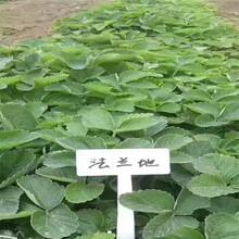 瓯海红颜草莓苗批发基地图片