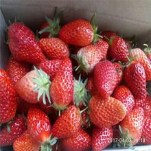 優質草莓苗種植方法圖片