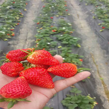 石龙红颜草莓苗批发基地图片