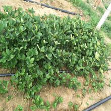 嵊州草莓苗批發基地圖片