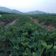 洛川县甜查理草莓苗批发基地图片