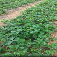 延邊草莓苗種植批發基地圖片