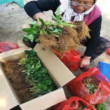 曲靖市红颜草莓苗种植技术图片