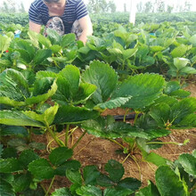 丹东市红颜草莓苗怎么种图片