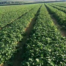 永州市草莓苗批發價格種植技術指導圖片