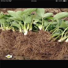 承德市草莓苗种植时间批发基地图片