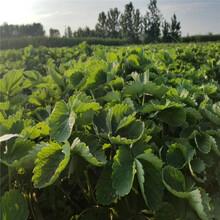 玉林市草莓苗批发价格1棵多少价格图片
