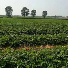 湟中縣草莓苗批發基地圖片