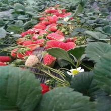 黄石市草莓苗种植方法视频图片