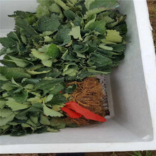 阜阳市草莓苗种植方法价格透明图片