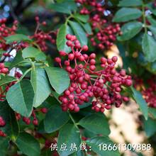玉林市无刺花椒苗价格超低价厂家直销种植技术指导图片