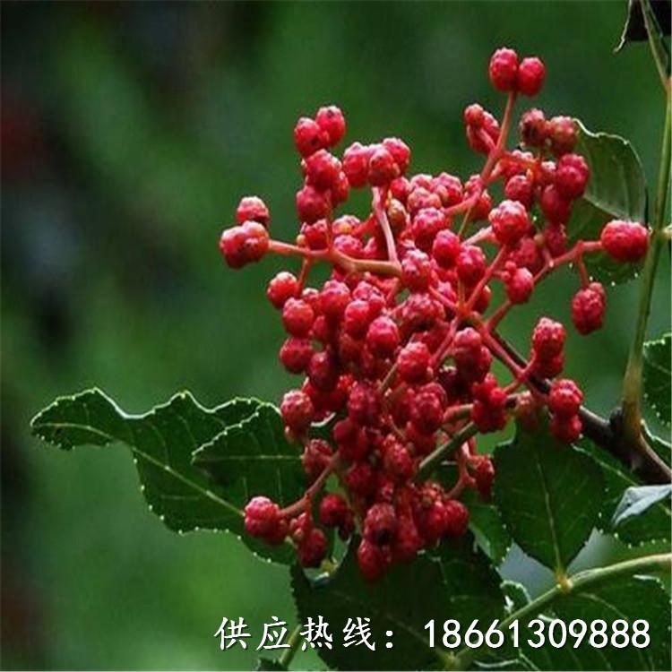 萍鄉市花椒苗采購投標文件1棵多少價格銷售