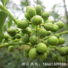 淮南市无刺大红袍花椒苗批发品种多成活率高质量好厂家图片
