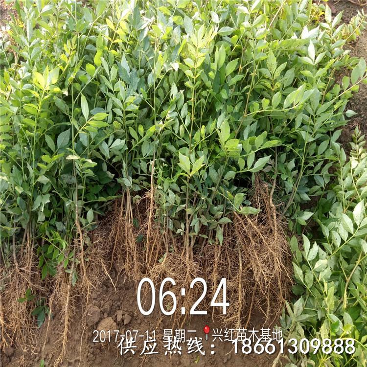 阜陽市花椒苗種植時間什么時候種植好銷售